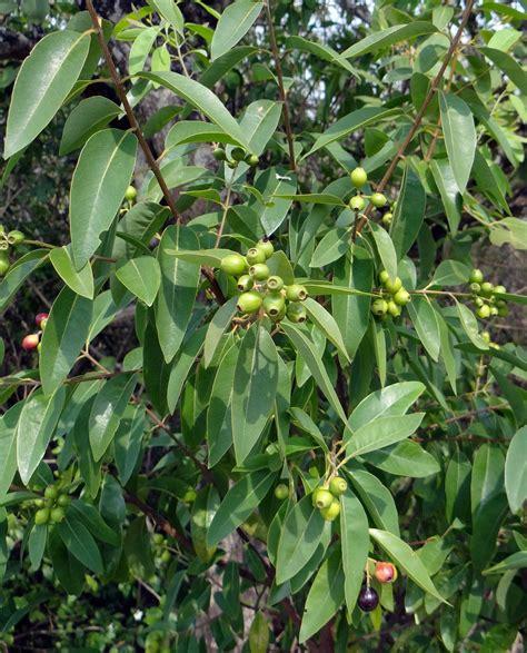 ciri ciri pohon cendana mediatani
