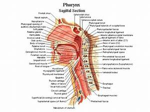 Diagram  Head And Neck Muscles Diagram Blank