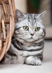 American Shorthair Silver Tabby Cat