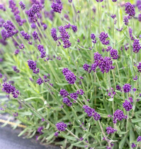 Lavance Deep Purple Lavender Seeds West Coast Seeds