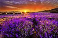 Purple Lavender Field Sunset