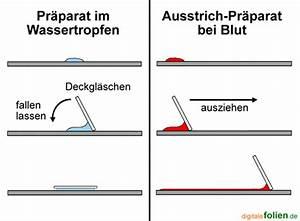 Aufbau Der Zwiebel : mediendatenbank biologie mikroskopieren ~ Lizthompson.info Haus und Dekorationen