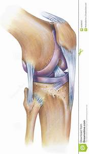 Knee - Anterolateral View Stock Photo