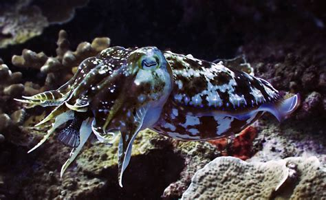 cuttlefish madang ples bilong mi