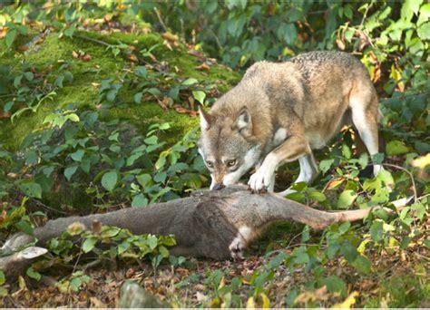 reh im wolfsland wild und hund