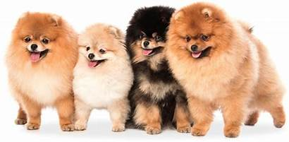 Pomeranian Dog Dogs Puppies Names Chow Poodle