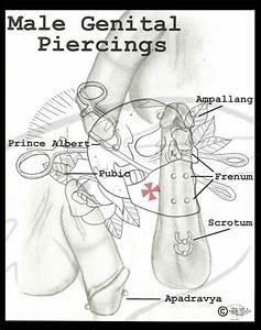 Penis Piercing Diagram