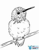 Coloring Hummingbird Sunflower Printable Billed Sword Calliope Justcoloringbook sketch template