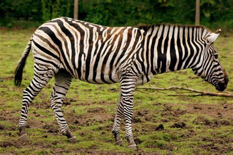 african plains zebra weneedfun