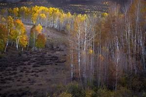 Fall, Aspen, Photo, Aspen, Trees, Fall, Colorado, Art, Fall, Meadow, Rustic, Home, Decor, Aspen, Trees