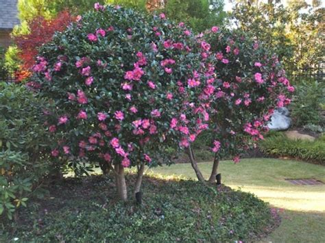 how to prune camellia tree look sharp garden guidance wallace gardens