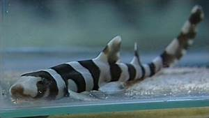 BBC NEWS | UK | England | Bamboo sharks hatch at aquarium