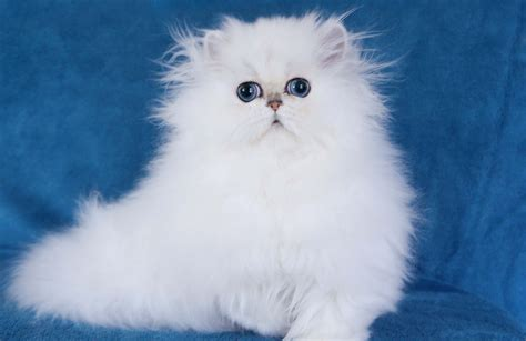 lovely  friendly persian cats images