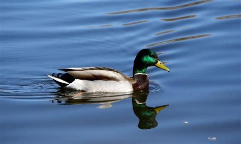 mallard duck mallard duck hd wallpapers high definition free background