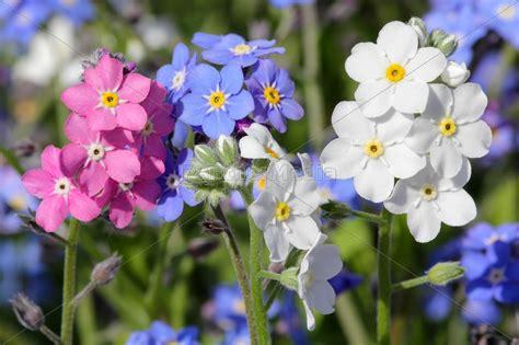 blume vergissmeinnicht bilder vergissmeinnicht in drei farben stock photo 11220322 bildagentur panthermedia