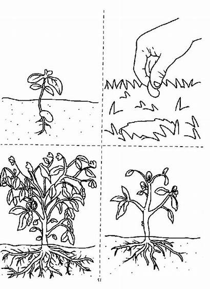 Coloring Plants Growing Seed Does Pages Template
