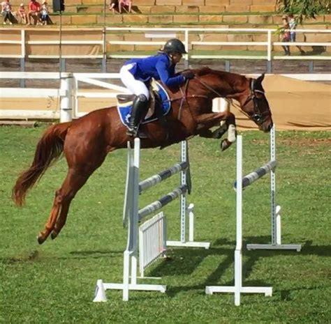 thoroughbred performance jumping horsezone gelding ultimate