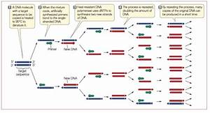 Solved  The Polymerase Chain Reaction  Pcr  Is An Enzymati