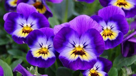 fiori pensiero viola il fiore e le sue propriet 224 idee green