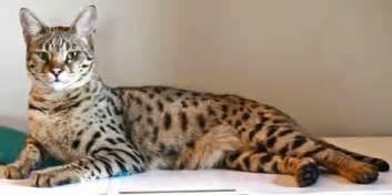 savana cat cat purrfect cat breeds