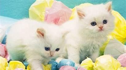 Cat Cats Desktop Wallpapers Dogs Background Kittens