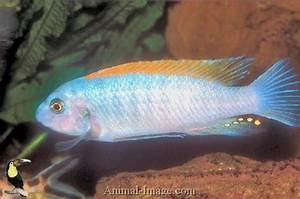 Trewavas Red-finned Cichlid