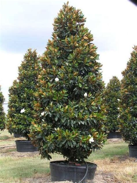 magnolia evergreen varieties magnolia grandiflora little gem magnolia plants pinterest gems and magnolias