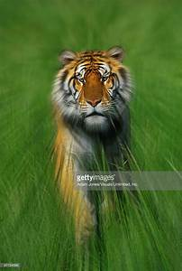 Bengal Tiger Running Photo | Getty Images