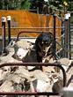 Domestication of animals - Wikipedia