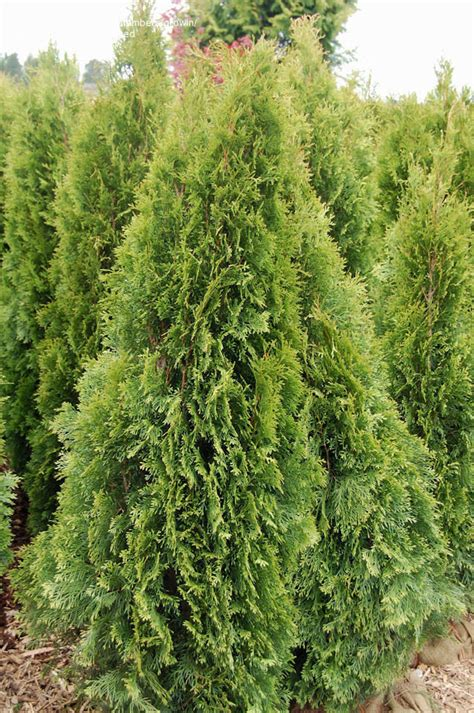 plantfiles pictures white cedar eastern arborvitae