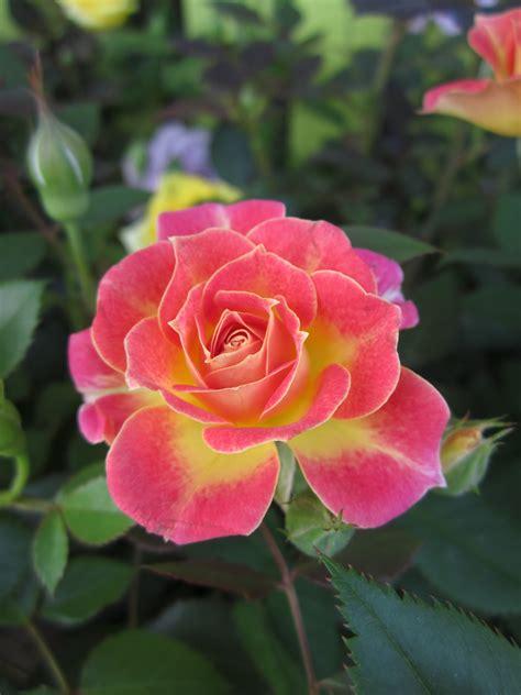 miniature roses shrubs huntersgardencentre com part 2