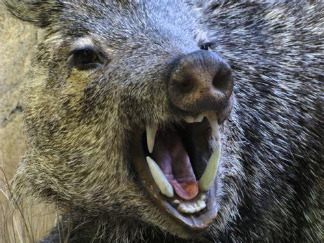 Use Assault Rifles In Sweden's Wild-boar Hunt