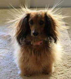 remove dog hair   car home clean expert