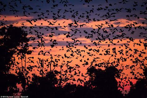 spectacular scenes as eight million fruit bats flock