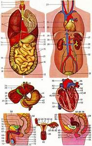 17 Best Images About Anatomy Of Organs In Body On