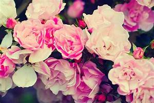 25+ Roses Background, Wallpapers, Images, Pictures ...