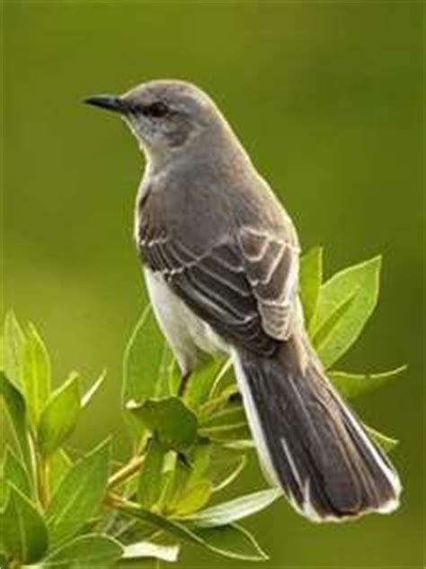 17 best images about nothern mockingbird barking gate