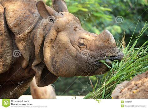 rinoceronte   la hierba verde imagen de archivo