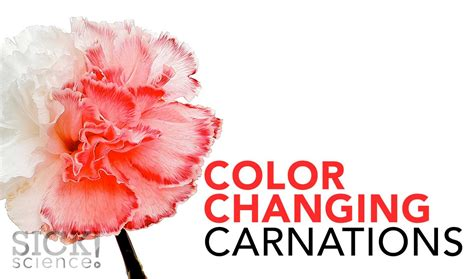 color changing carnations sick science  science