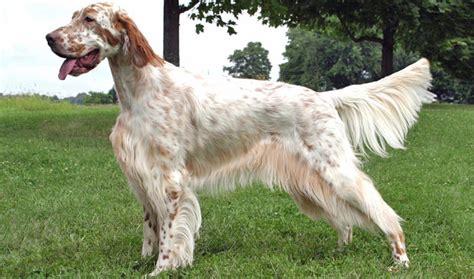 white setter shedding setter breed information