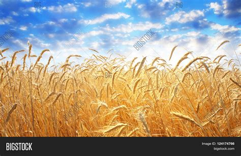 Background Crop Backdrop Yellow Wheat Ears Field On Image Photo Bigstock