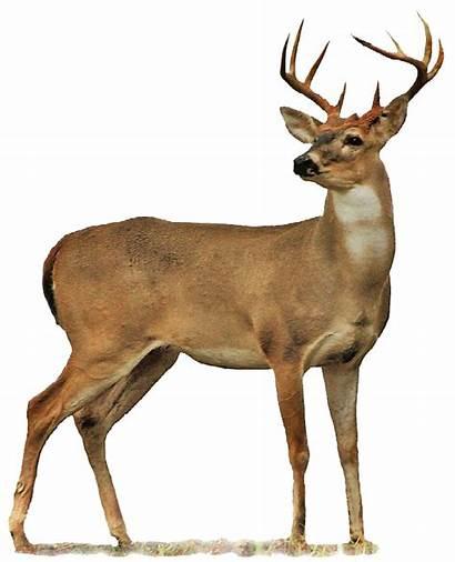Deer Wallpapers Pluspng Transparent