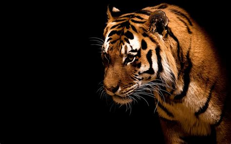 Animals Wallpapers For Windows 7 - animal tiger animal wallpapers free