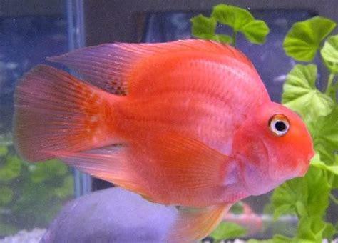 blood parrot fish love these red blood parrot cichlid cichlids pinterest