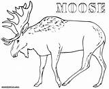 Moose Coloring Pages Drawing Antler Thidwick Hearted Outline Getdrawings Realistic Animal Colorings sketch template