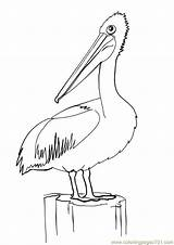 Pelican Coloring Pages Bird Outline Line Pelicans Birds Drawing Printable Colouring Drawings Sheets Australian Coloringpages101 Clip Clipart Louisiana Animal Sketch sketch template
