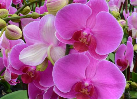 what color is orchid the amazing true history of orchids and what their colors