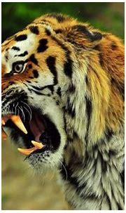 Angry Tiger wallpaper   animals   Wallpaper Better