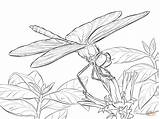 Dragonfly Coloring Pages Drawing Printable Dragon Line Fly Winged Darter Yellow Adults Drawings Insect Dragonflies Adult Supercoloring Nature Sheets Burning sketch template