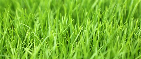 grass seed lawn repair all you need to about perennial ryegrass